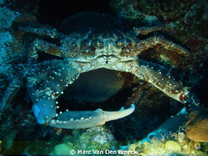big crab by Marc Van Den Broeck 